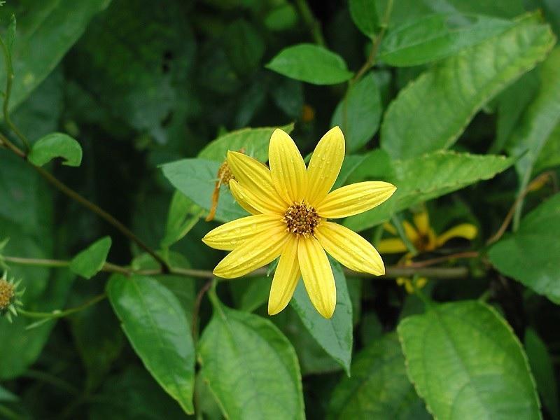菊芋の花の写真